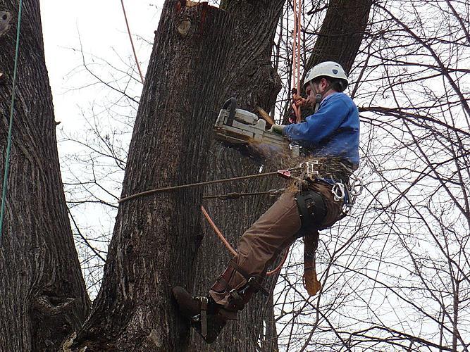 Veřejná zeleň ve městě Český Krumlov - Práce arboristy při rizikovém kácení stromu